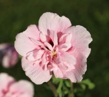 'Pink chiffon' (hibiscus syriacus)