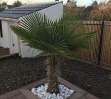 Ajout de gros cailloux blancs autour du palmier