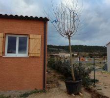 Livraison d'un bel arbre : un murier platane stérile de + de 3.5m de haut et surtout avec un container qui pèse. Ça va être une partie de plaisir à déplacer