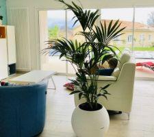 Kentia palmier intérieur