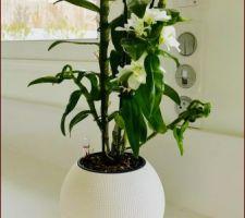 Dendrobium Orchidée