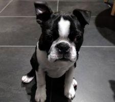 Il y a un nouvel habitant à la maison ! Je vous présente Nixon, petit Boston Terrier de 3 mois et demi !