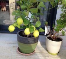 Citronnier quatre saisons
