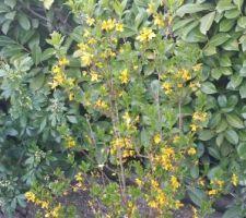 Le forsythia est en fleur