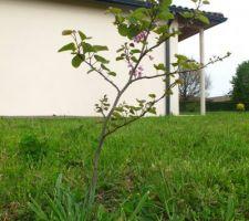 Arbres de Judée issus d'un semis sauvage :-)