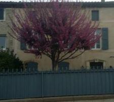 L'arbre de Judée avant taille.