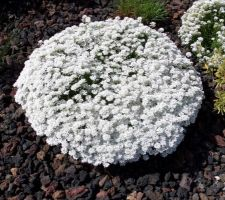 Les fleurs blanches au 29 avril 2018