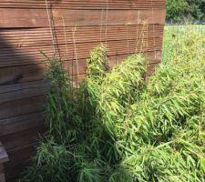Haie de bambous ( ceux déplantés de l'appart)