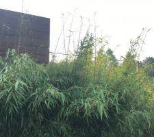 La pousse des bambous ne s?arrête plus