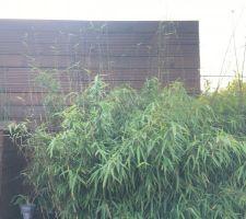 La pousse des bambous ne s'arrête plus