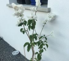 Lilas blanc!