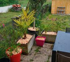 Les arbustes ont été plantés dans la haie... On les remplace par de jolis palmiers qui seront installés plus tard sur le jardin avant! + olivier en promo chez casto
