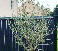 Après avoir perdu quasiment toutes leurs feuilles, nos oliviers repartent enfin !