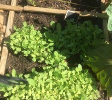 Plants de radis en force !