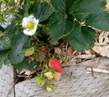 La première fraise