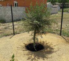 Plantation de mon olivier terminée ;-)