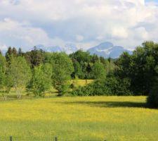 Derrière notre clôture, la prairie est toute jaune ! (Renoncules de juin)