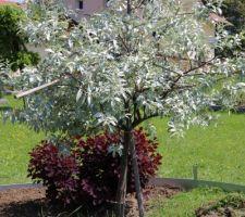 Cotinus pourpre et olivier de Bohême sans épines (var. Caspica)