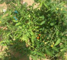 Ça pousse au potager Tomates cerise en vue!