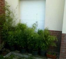 Les bambous (fargesia rufa, un nigra et le 4e j'ai oublié!) en juin 2014,