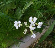 Les premières fleurs de la prairie fleurie