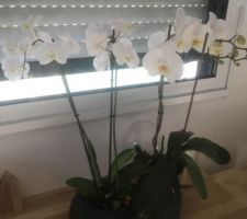 Nouvelles floraisons d?orchidées!