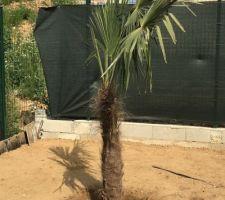 Palmier planté