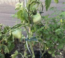 Les tomates poussent !!!