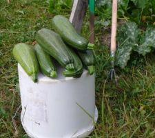 Ça pousse vite ! Ma première récolte de courgettes, c'est super ! Et il y en a plein d'autres qui arrivent !