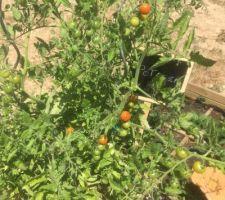 On croule sous les tomates cerises!