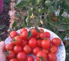 Récolte 100% Osse Beach : Tomate cerise, première   fois de ma vie que je fais du jardinage les tomates sont superbes et il y en a encore des tonnes à venir mes tuteurs ne sont plus assez haut.