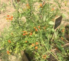 Overdose de tomates cerises !