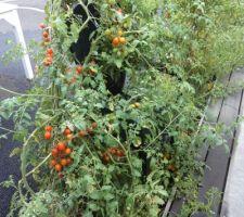 Les tuteurs n'ont pas résité au poids et a la longueur des plants de tomates version 2018 .la chaise de jardin participe .......