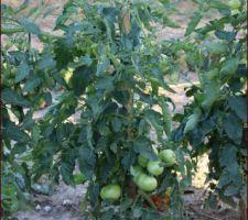 Tomates, fraisiers