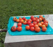 Les petites tomates mures : il en reste encore sur les plants... mais il faut qu'elle mûrissent