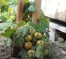 Les petites tomates vont mûrir