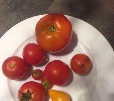 Petite récolte de tomates :-)