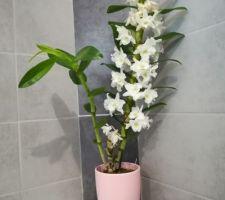 Dendrobium (Orchidée) qui s'épanouit