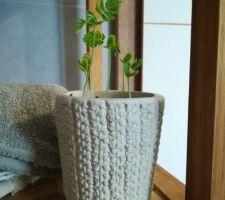 Bébé Albizia en cours de germination !