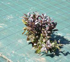 Weigelia florida Minor Black