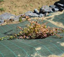 Euonymus fortunei dart blanket