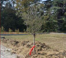 Olivier planté!  Le tuyau rouge va jusqu'aux racines pour que l'eau s'écoule plus facilement dans la terre ?