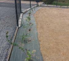 Pelouse semé et les plantations. Après un gros nettoyage de terrain plein de cailloux.