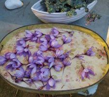 Récolte des fleurs de safran