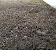 Gazon en pleine germination