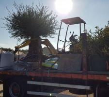 Arrivée de l'olivier