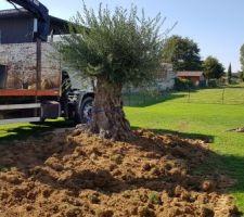 Plantation de l'olivier
