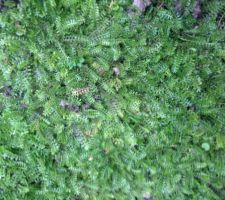 Couvre-sol : cotula (ou leptinella) squalida
