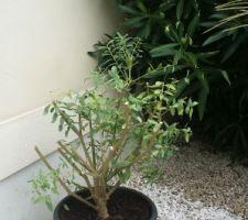 Arbuste en convalescence.