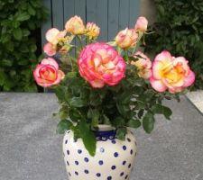 Dernier cadeau du rosier déplacé.